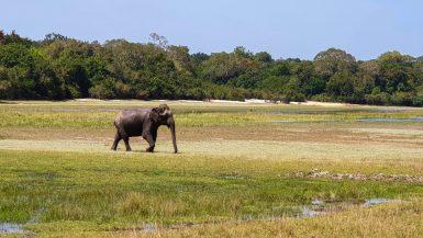 Elephant parc national de Wilpattu, Sri Lanka