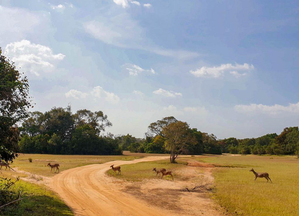 Daims au parc de Wilpattu, Sri Lanka